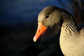 greylag goose in the wildlife