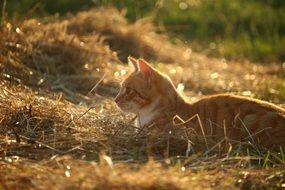playful red young cat