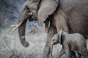 african elephant with cub in the wild