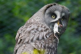 picture of the bart owl