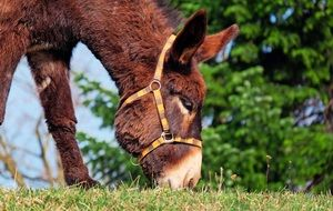 Donkey is eating grass