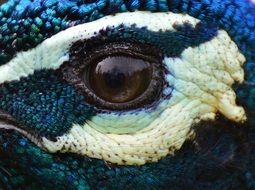 Peacock Eye Close up