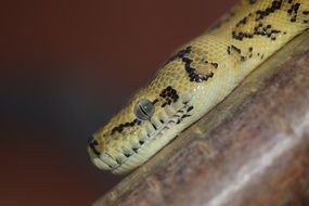 yellow python in a terrarium close-up