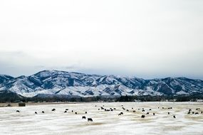 Snowy Mountains herd grazing