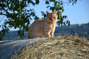 red cat sitting on a haystack
