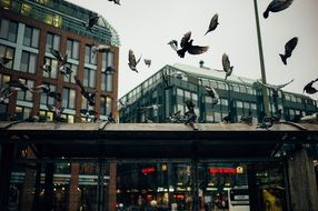 flock of pigeons in the city center