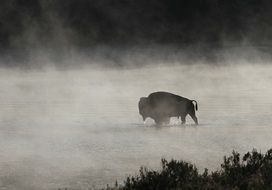 Bison in the river in the haze in Yellowstone National Park on beautiful landscape
