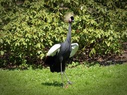 plumage of a crowned crane