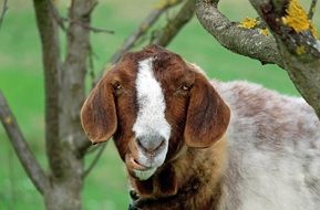 gorgeous beautiful Goat Animal