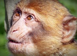 thinking barbary ape