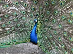 beautiful Peacock with wide open Tail feathers