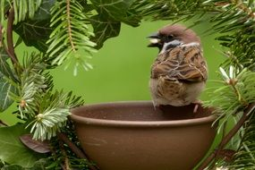 foraging sparrow in the garden