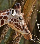 Giraffe head photo
