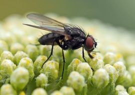 fly on a yellow yarrow close up