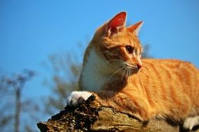 red cat on the old tree trunk