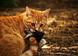 red cat with prey