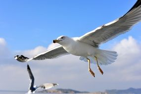 white seagull with big wings