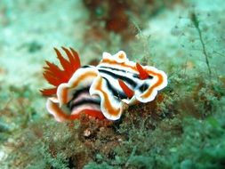 Colorful nudibranch in sea