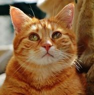 charming red cat close-up