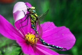 colorful dragonfly on a bright purple flower close-up