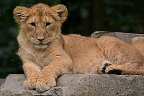 young Lion Cub Animal Nature Mammal