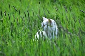 white Cat in Green Grass