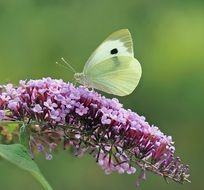 white butterfly on a branch of lilac