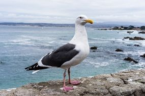 Seagull on a beach in Monterey