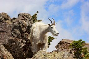 white mountain goat in wildlife