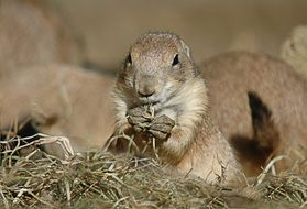 black-tailed prairie dog in wildlife