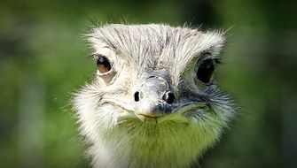 photo of ostrich head