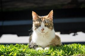 domestic cat laying on ghe green grass