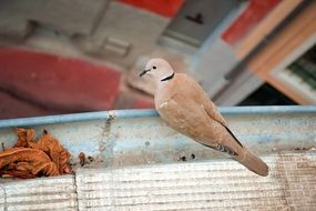 dove with beautiful plumage