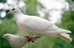 graceful white dove