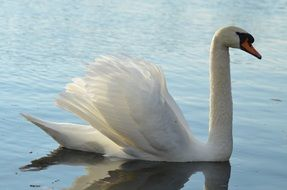 majestic swan on the water