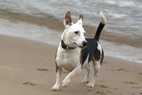 Jack Russell Play on the beach