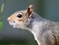 cute grey squirrel in wildlife