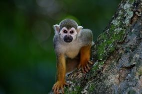 little monkey on a tree trunk in the forest