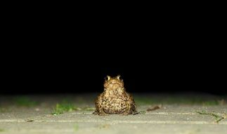 Toad Frog Animal