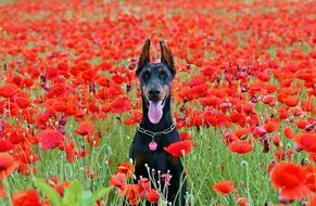 Doberman on a red poppy field