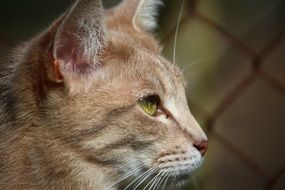 profile portrait of a cute red cat