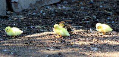 cute yellow ducklings