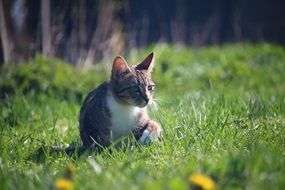 hunting domestic cat