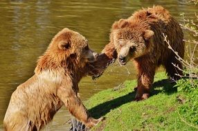 bears playing on the lakeside