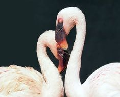 Pair of the flamingos