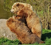 brown bears playing in the wildpark