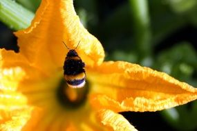 insect in yellow zucchini flower