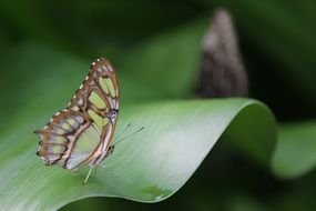 exotic filigree butterfly on the green leaf
