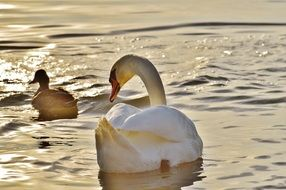 swan and duck on lake constance