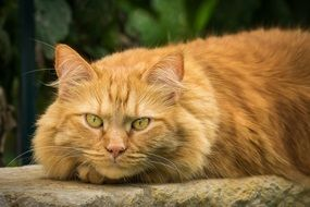 red fluffy domestic cat